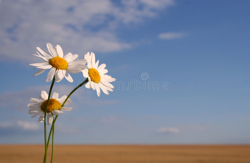 Camomile. In the filed in summer royalty free stock photography
