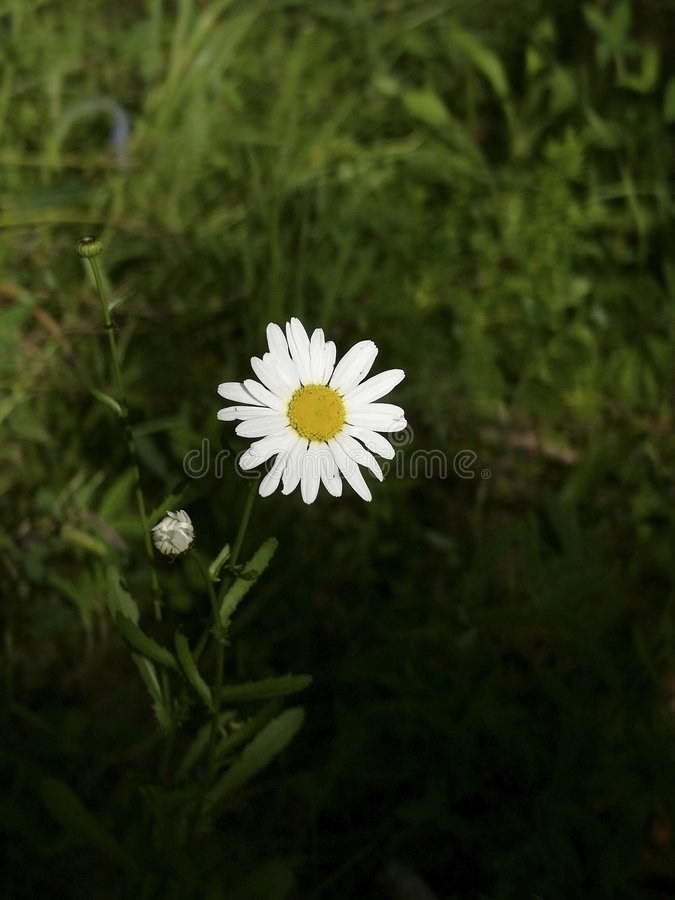 Download Camomile stock image. Image of yellow, plant, green, flora - 179409