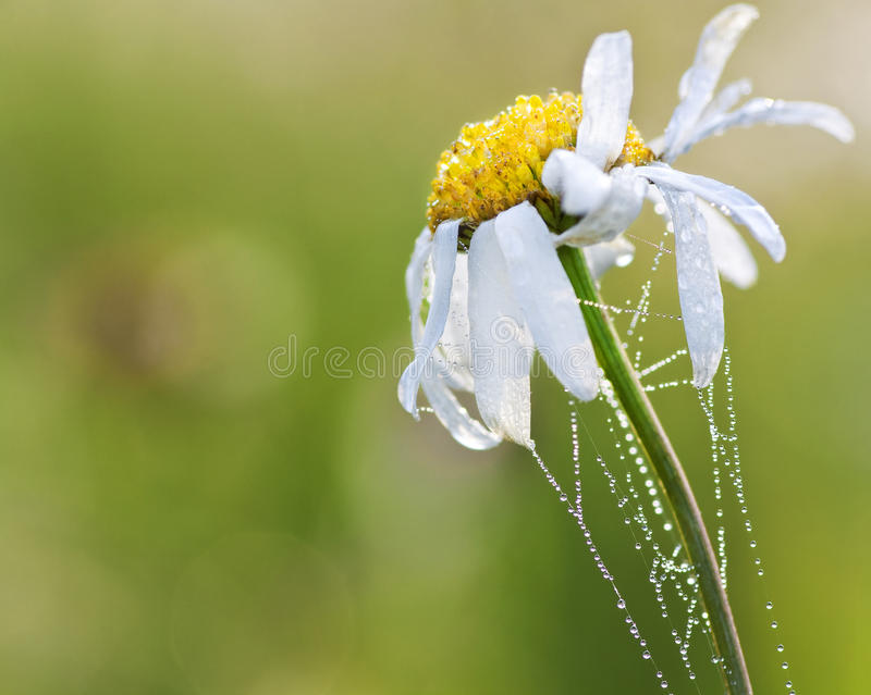 Download Camomile stock photo. Image of backgrounds, grass, fresh - 18819464