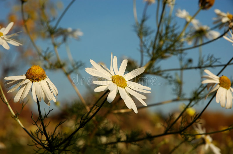 Download Camomile stock image. Image of daisy, nature, summer, nice - 630481