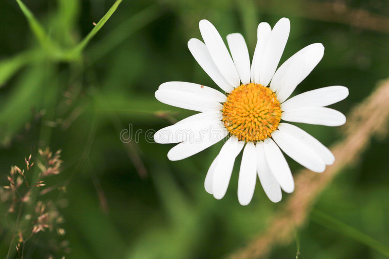 Download Camomile stock image. Image of gardening, beauty, affectionate - 6564255