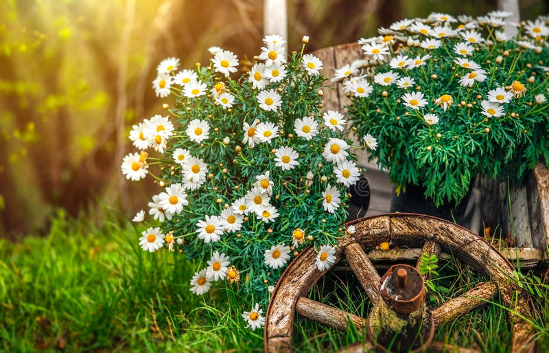 Camomile blossom at lawn with green grass. Camomile flowers blossom at lawn with green grass and old wooden wheel. Decorative natural elements for landscape royalty free stock images