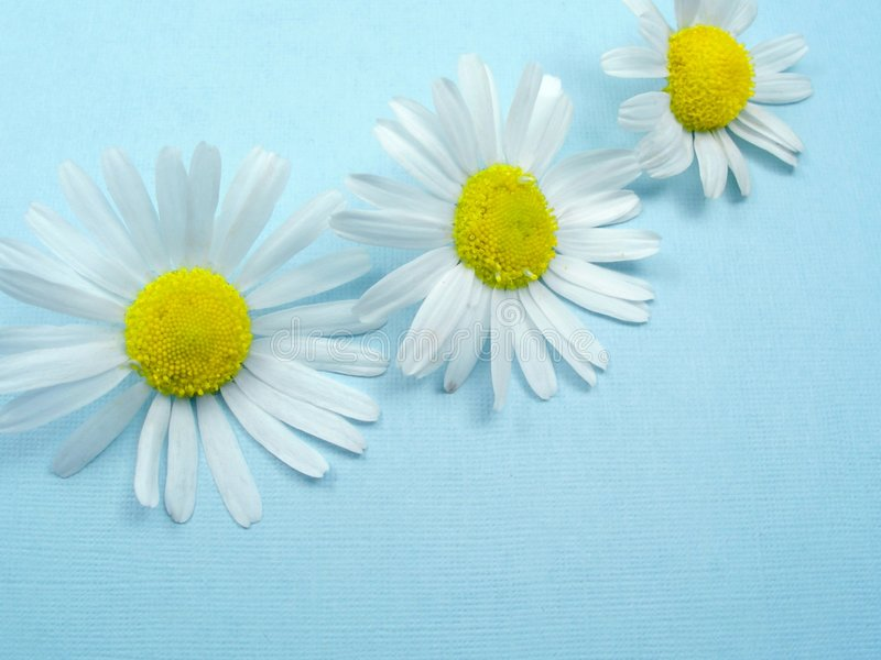 Camomile on blue background stock photos