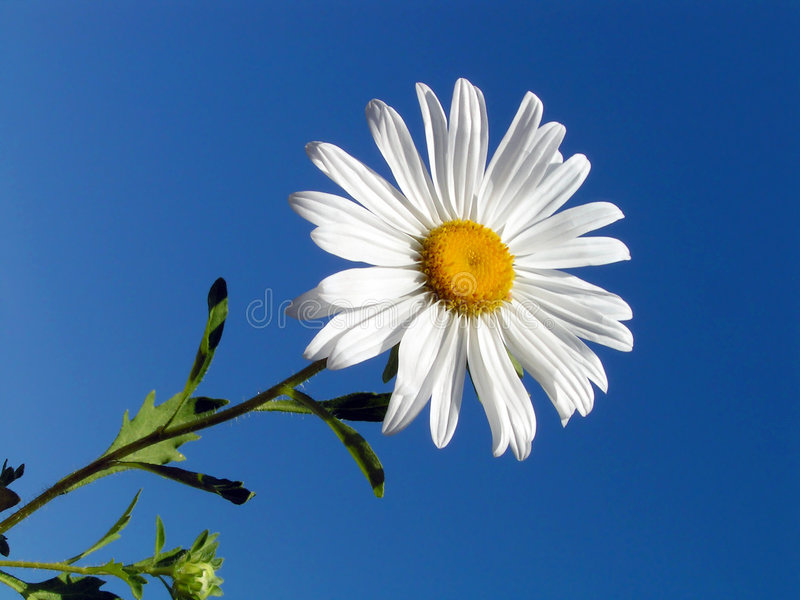 Camomile on a blue background. stock images