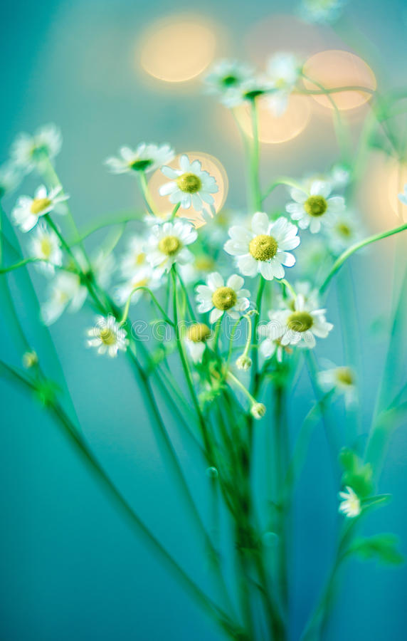 Camomile bouquet stock image