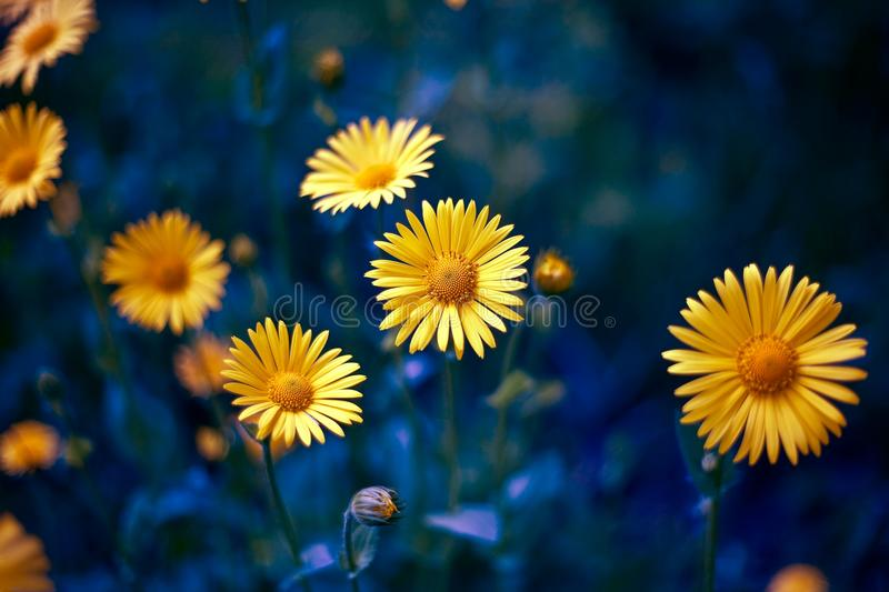 Camomile. chamomel, daisy chain, wheel. an aromatic European plant of the family, with white and yellow daisylike flowers. royalty free stock photos