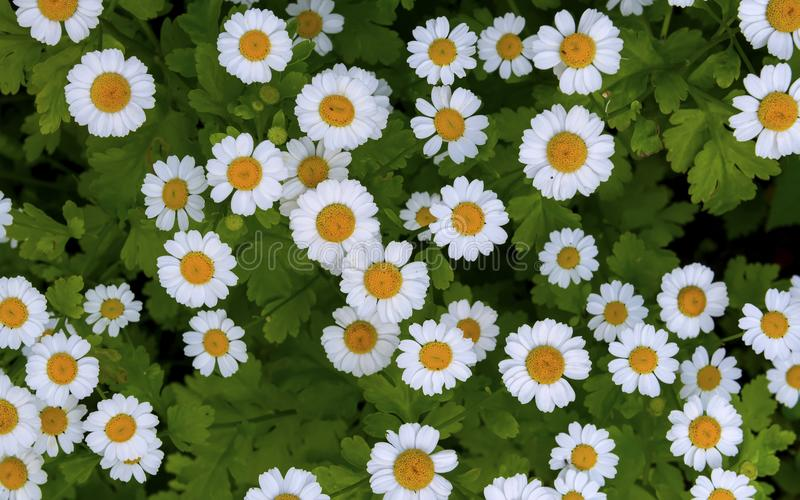 Camomile daisy field natural horizontal background texture stock image