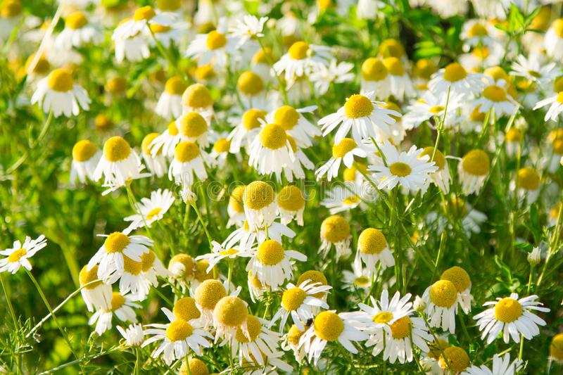 Camomile daisy field natural horizontal background texture for beauty, health royalty free stock image