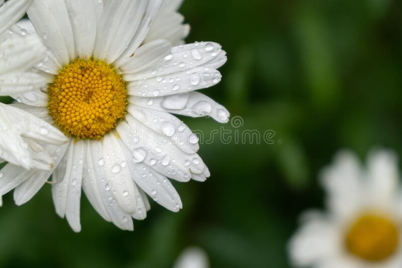 Camomile daisy flowers in the grass covered by rain or morning dew. Slovakia royalty free stock photography