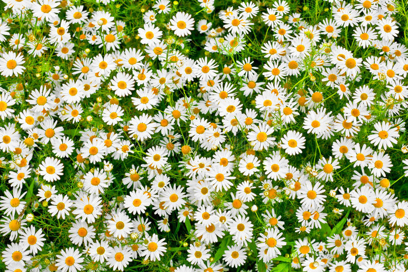 Camomile daisy meadow background stock image