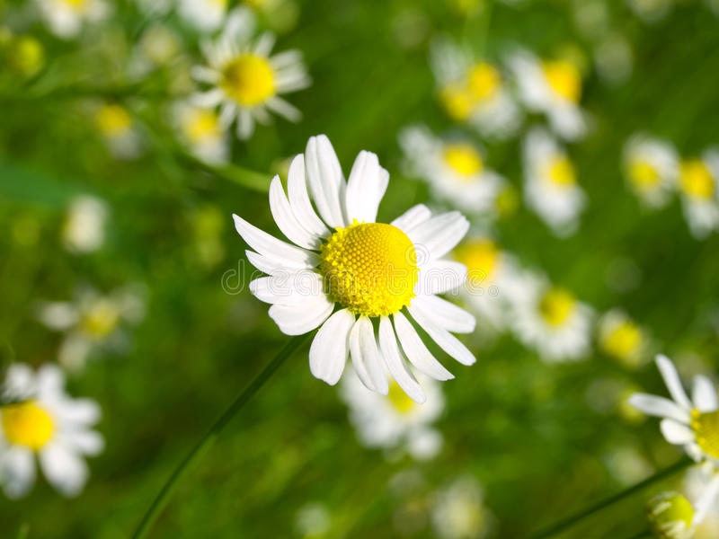 Download Camomile Field Stock Photography - Image: 13233942