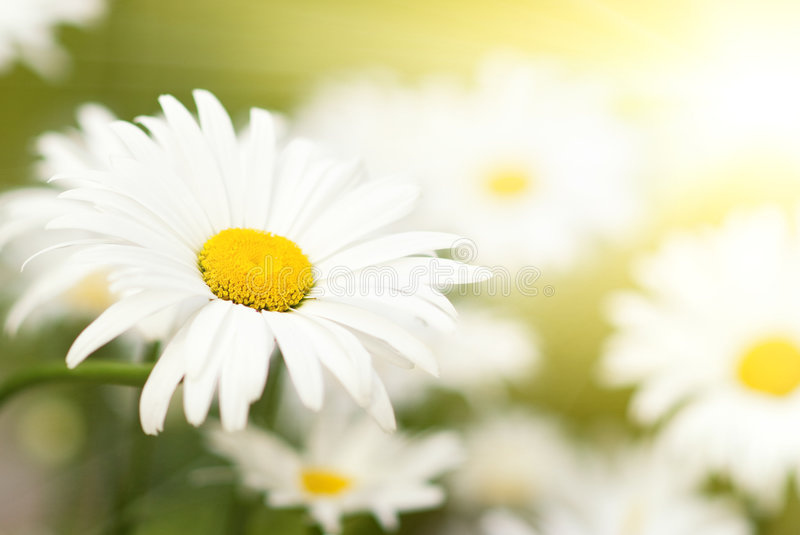 Download Camomile field stock photo. Image of grow, backlight, floral - 5961686