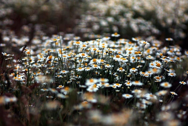 camomile field stock photo