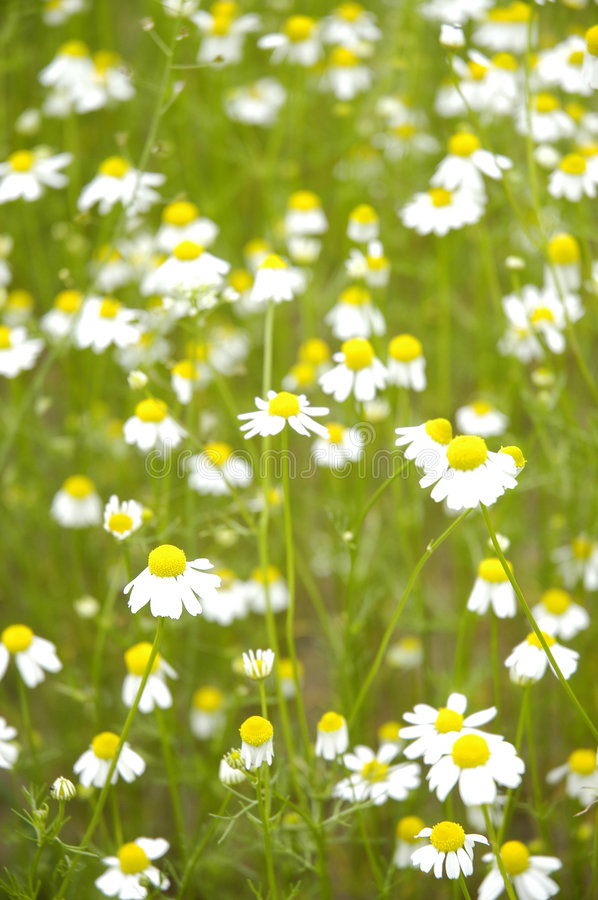 Download Camomile field II stock image. Image of blooming, cream - 169083