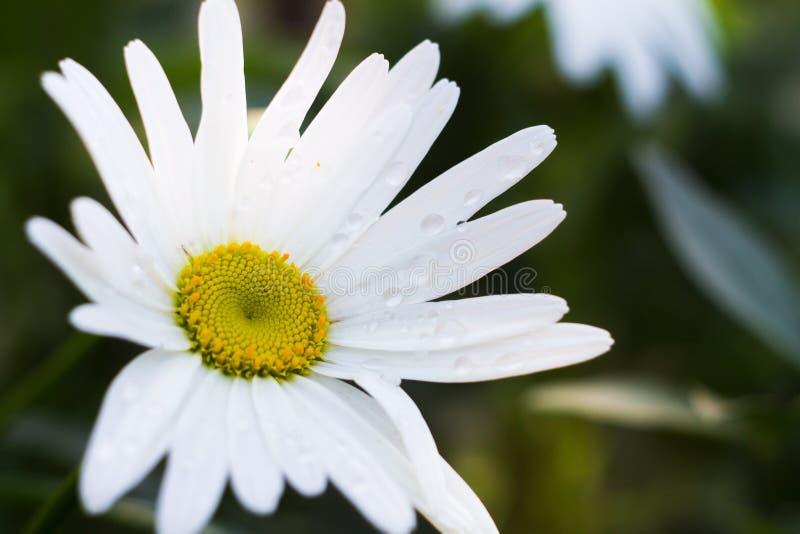 Camomile flower closeup stock image
