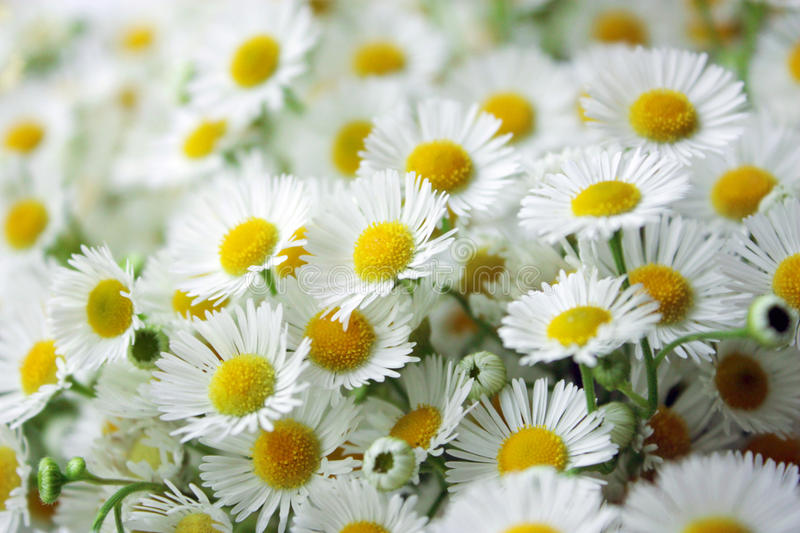 Camomile flower. Macro of group of camomile royalty free stock photography