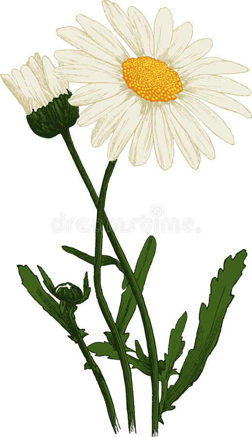 Download White Camomile Flower. Oxeye Daisy. Vector Stock Image - Image: 28709125