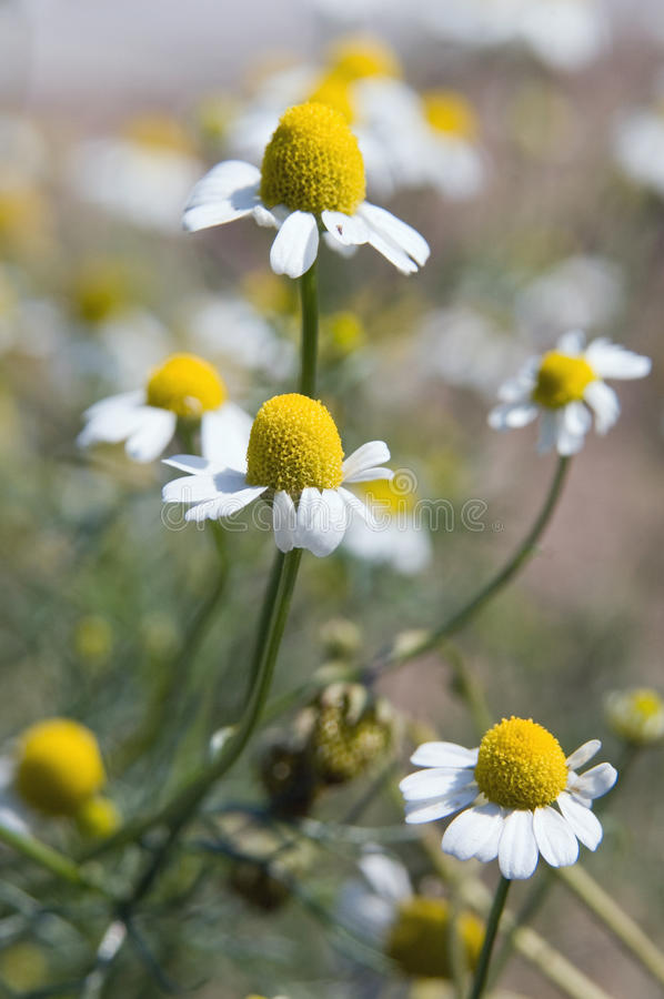 Download Camomile flowers stock photo. Image of camomile, floral - 12910126