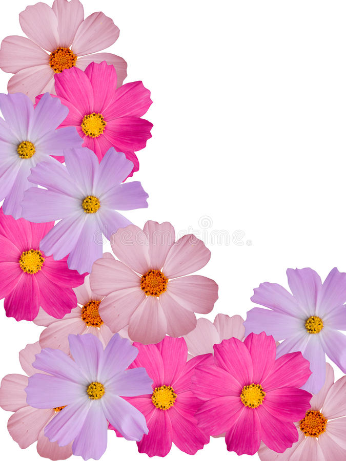Camomile flowers decorative stock photo