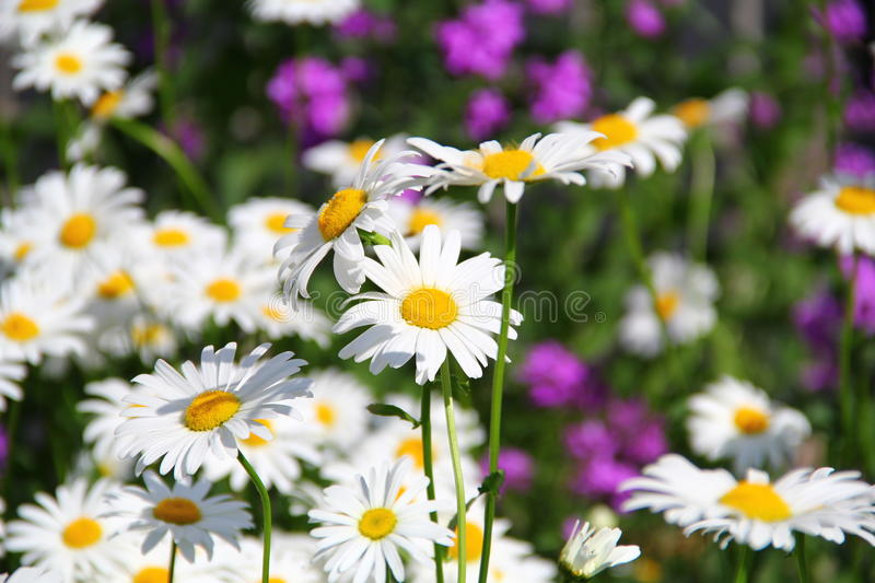 Camomile flowers field nature stock photo