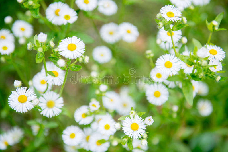 Camomile flowers stock photo