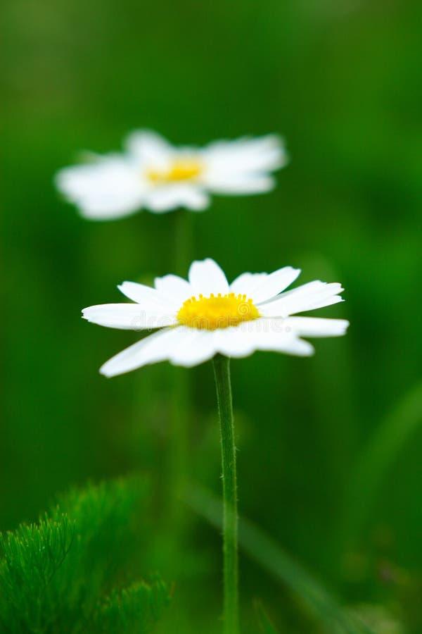 Camomile Flowers Pair Stock Photos