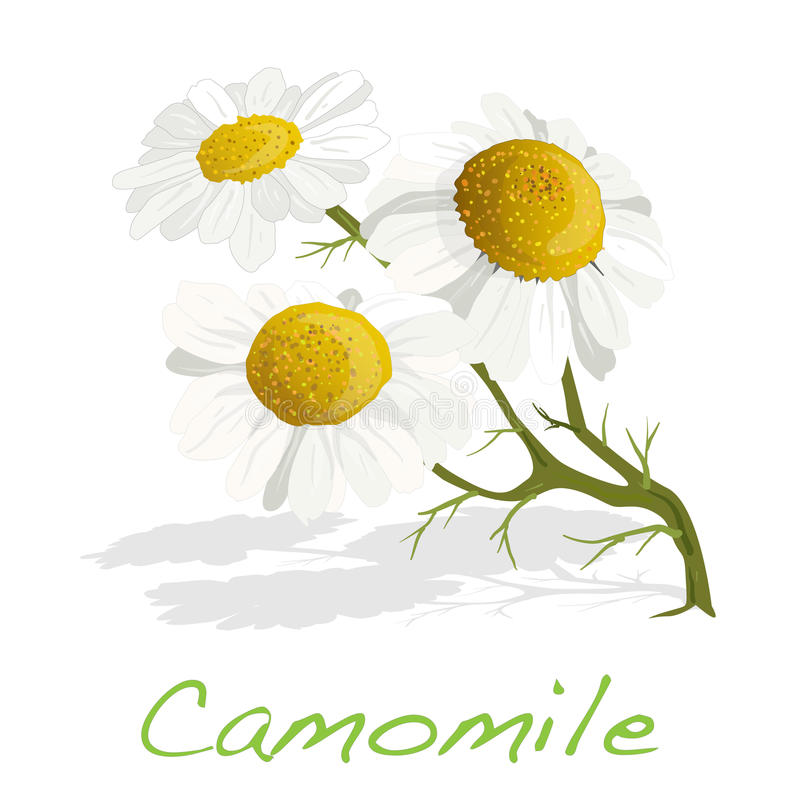 Download Camomile Illustration Vector Stock Vector - Image: 83715096