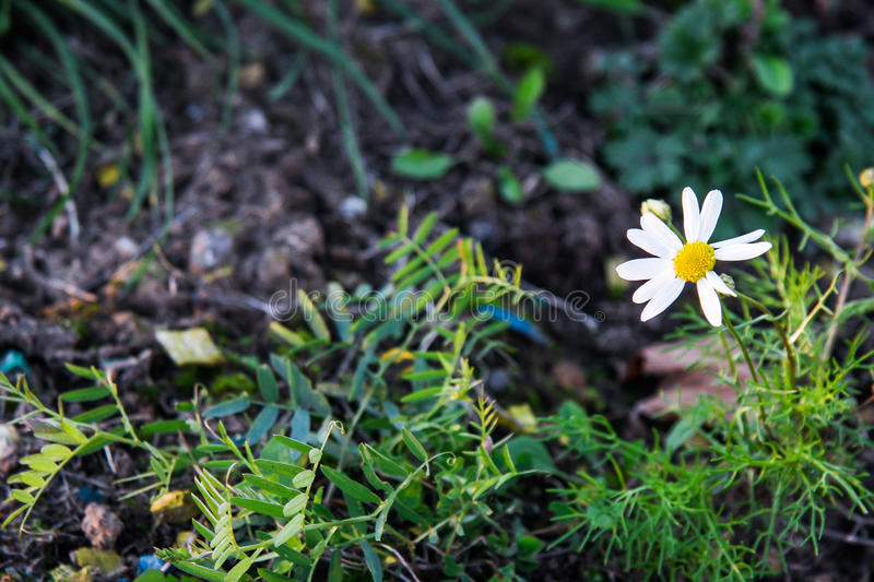 Camomile. The lonely camomile with missing petals royalty free stock image