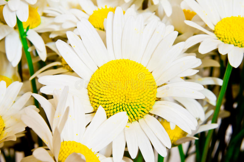 Download Camomile stock photo. Image of herb, bloom, land, fresh - 39505250