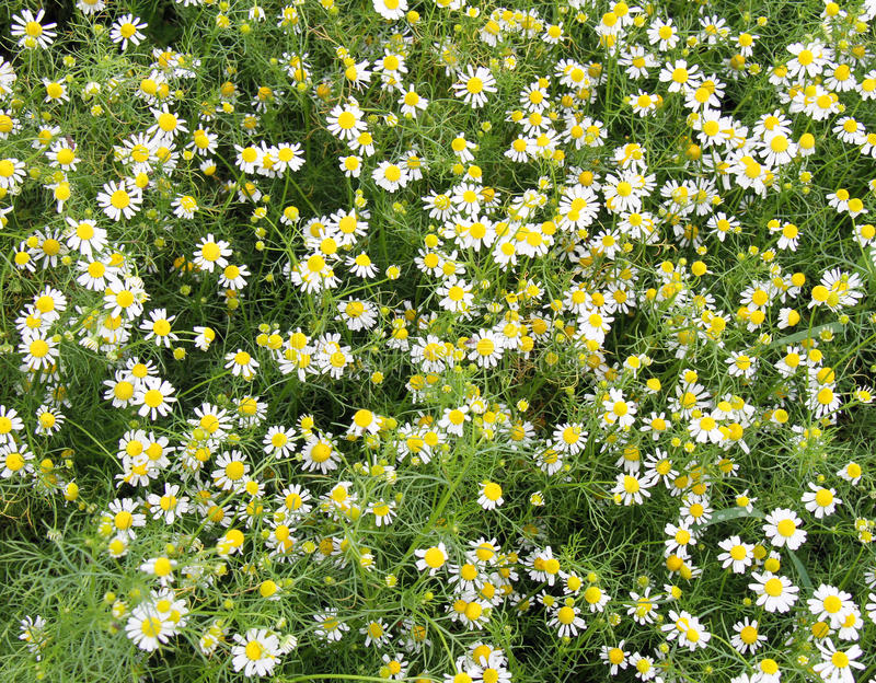 Download Camomile stock photo. Image of field, flowers, meadow - 32286522