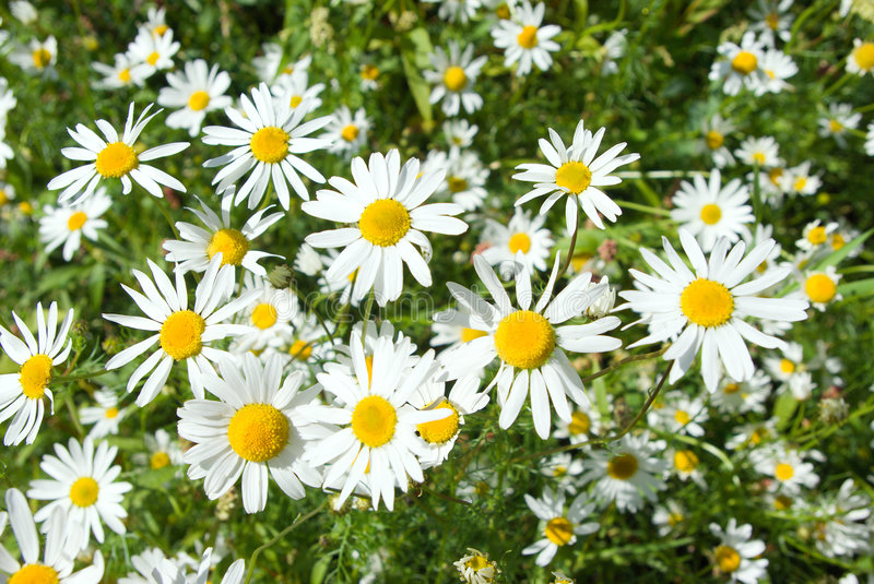 Camomile on natural background royalty free stock images