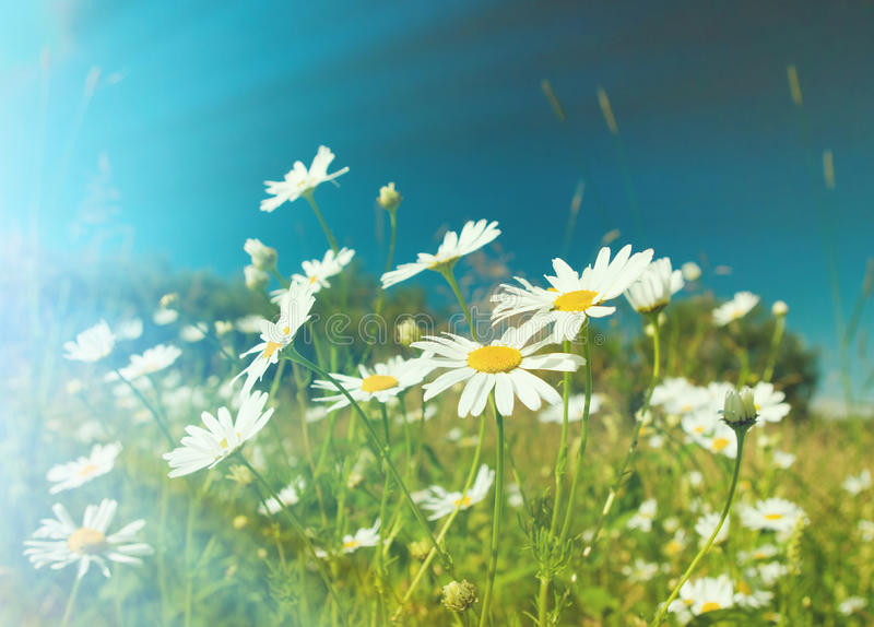 Camomile on natural background royalty free stock photo