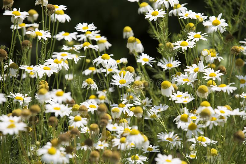 Camomile oxeye daisy meadow background. Field of daisies. Black background.  royalty free stock photography