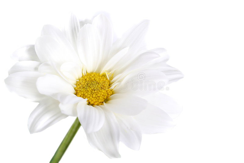 Camomile on white background royalty free stock images