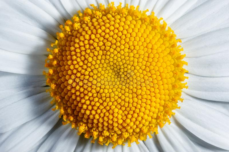 Camomile. royalty free stock photography