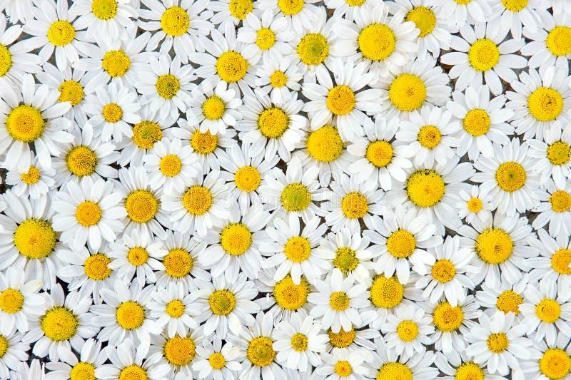 Download Camomilemodell fotografering för bildbyråer. Bild av ört - 19788949