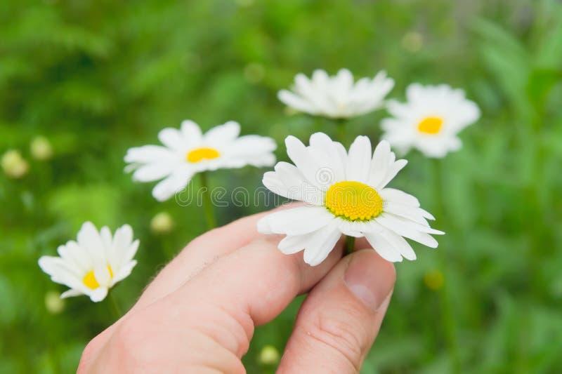 camomilen blommar handen arkivfoto