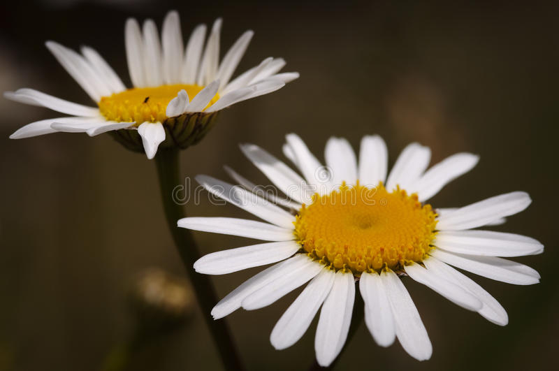 Camomiles Royalty Free Stock Photos
