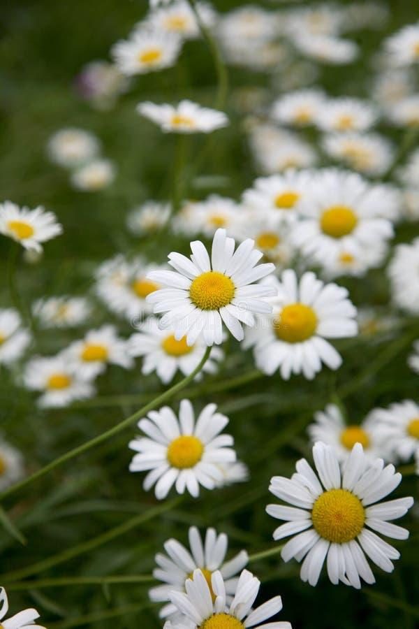 Download Camomiles immagine stock. Immagine di pianta, flora, fiori - 7313849