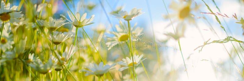 Camomiles blancs contre le ciel bleu Fond panoramique d'été photos stock