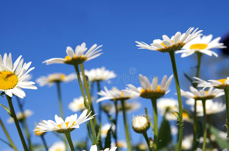 Camomiles on a blue sky stock images