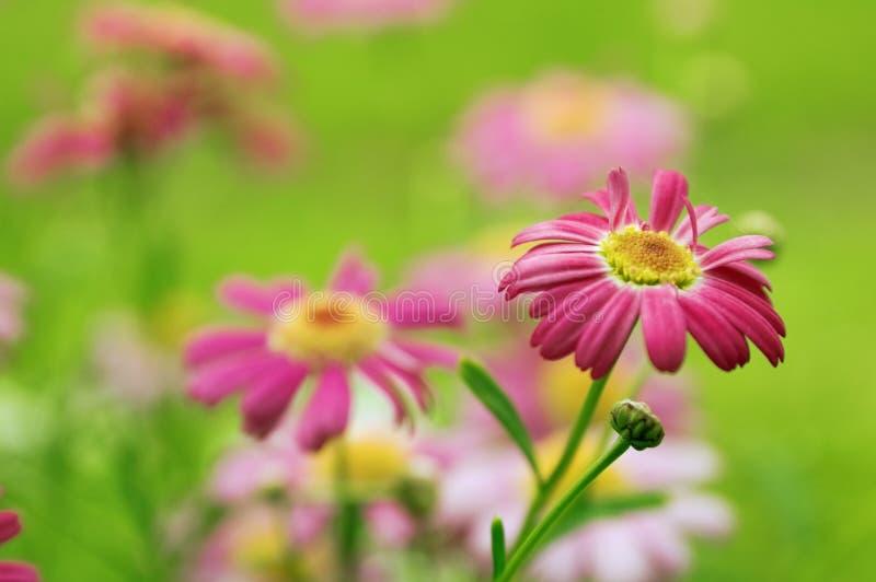 Camomiles cor-de-rosa imagem de stock