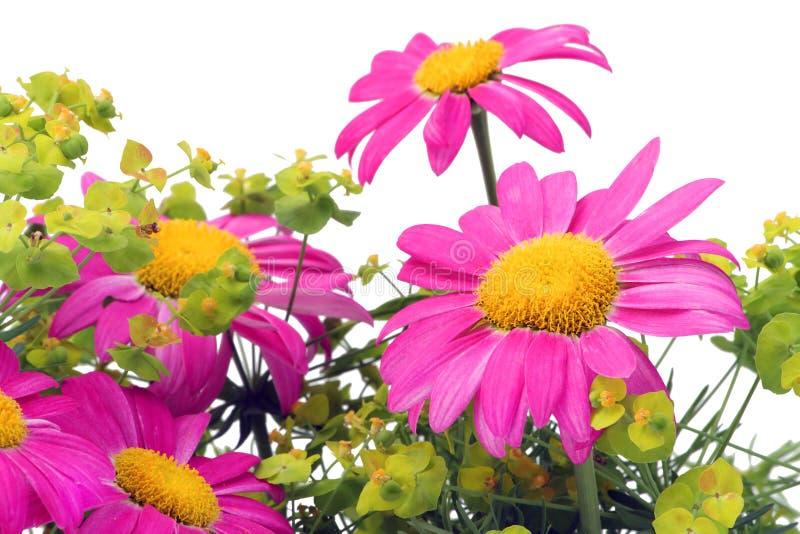 Camomiles cor-de-rosa macro foto de stock