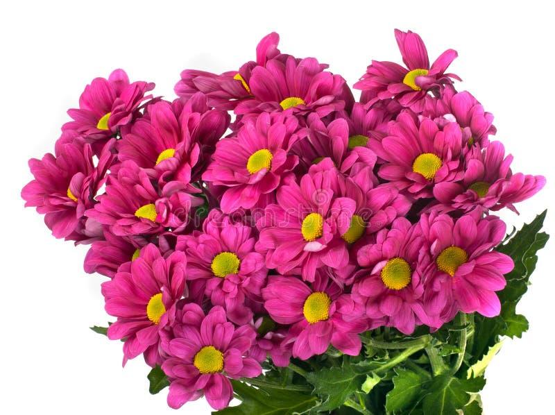 Camomiles cor-de-rosa raro imagens de stock