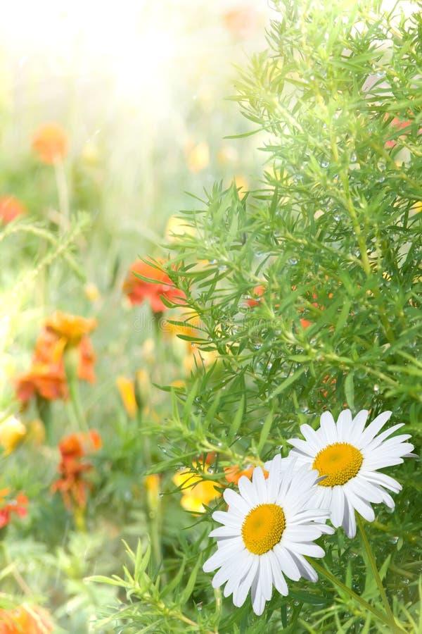 Camomiles de fleur photographie stock