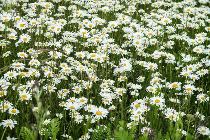 Camomiles in de wind Mooi wild gebied van madeliefjebloemen De zomerdag na Regen Concept seizoenen, groene ecologie, stock foto's