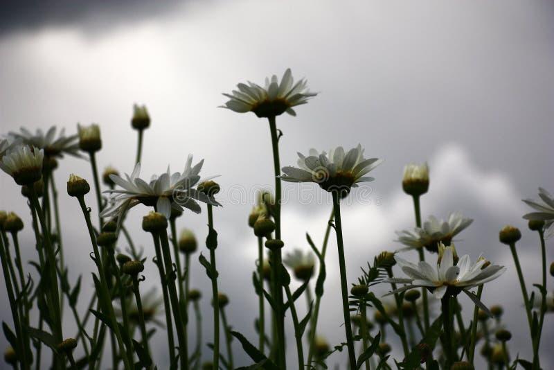 Camomiles et le ciel pluvieux image stock
