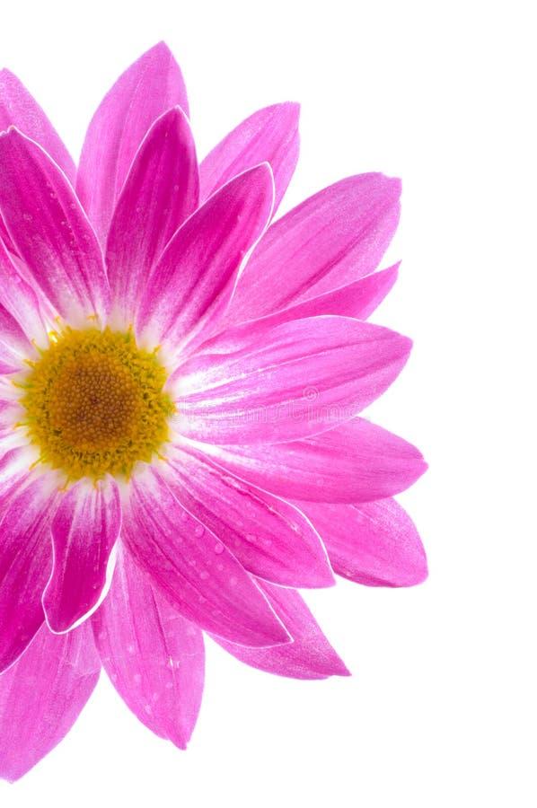 Camomiles. Fleurs De Source Images stock