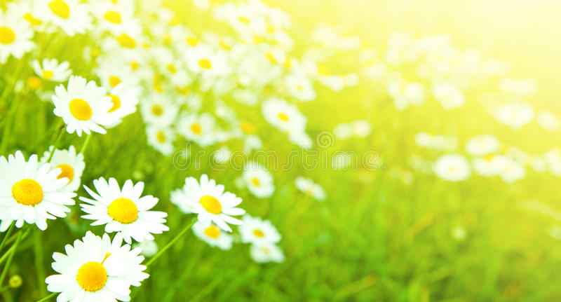 Camomiles flowers stock photography