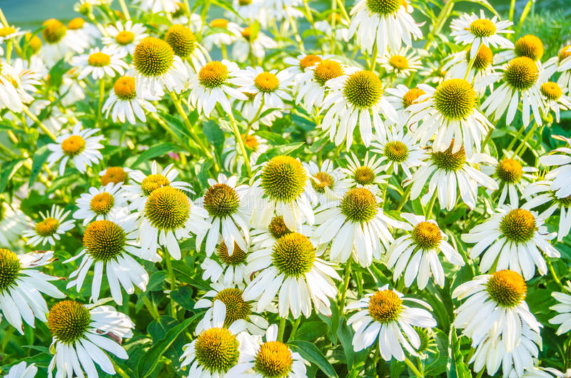 Download Camomiles flowers stock image. Image of camomile, leaf - 34468865